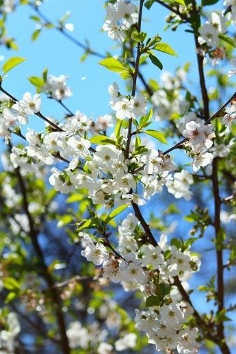 floweringtrees2